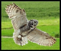 Owl in for the kill by jimbomp44