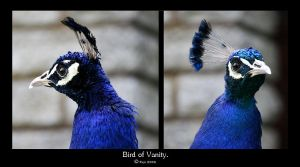 Bird of Vanity. by FSGPhotography