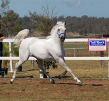 GE Arab white trot looking cam side view low quali by Chunga-Stock