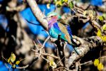 Lilac-Breasted Roller. South Africa. by sellsworth