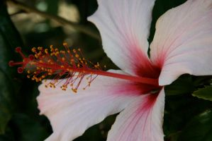 Hibiscus Pink by Applemac12