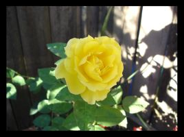 yellow rose by sc4mp1