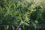 Early morning dew on our very unmowed lawn by ORockGirl