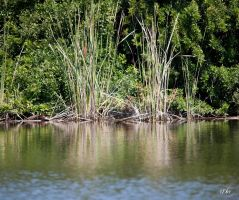 Water Reeds by DleeKirby