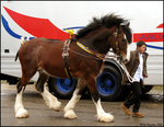 Shire Horse Show: Stallion 11 by ladyepona