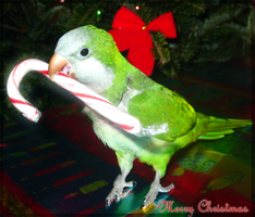 Bebe says Merry Christmas by NarciE