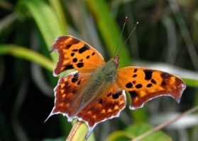 Question Mark Butterfly by Hippoflakes