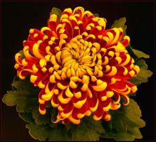 CHRYSANTHEMUM 15 by THOM-B-FOTO