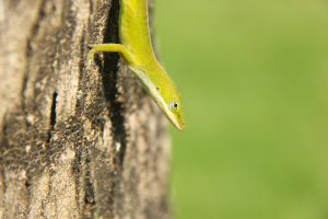 Green Anole by ReptiReptilez