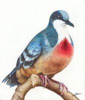 Luzon bleeding-heart dove by Abremson