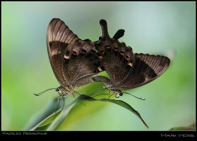 Papilio peranthus I by log1t3ch