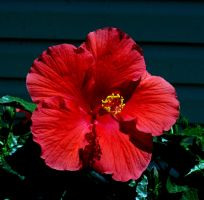 Another Hibiscus by KubusRubus