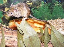Small Brown House Mouse by Gracies-Stock