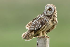 Gazing - Short-eared Owl by Jamie-MacArthur