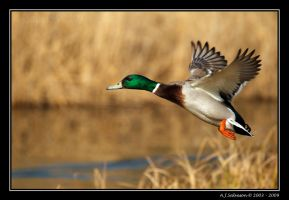 Incoming Mallard by andy-j-s