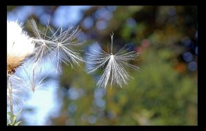 ThistleDown by SuicidalLemming-ox