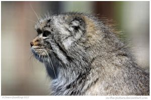 Moody Manul by In-the-picture