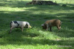 piggies by skylight11