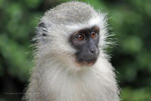 Vervet Monkey by HappyRaindrop