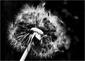 295 - My Dandelion by mazmoore