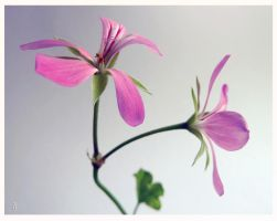 Pelargonium by jankolas