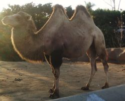 SD Zoo - Camel 2 hump by sychoblustock