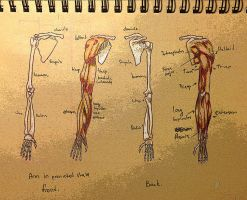 arm anatomy pronated state by Qels