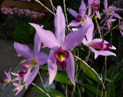 Purple Orchid Flowers Stock by Enchantedgal-Stock