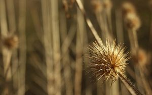 Thistle in march by aktron
