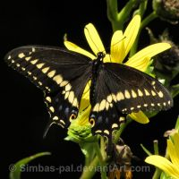 Black Swallowtail, male by Simbas-pal