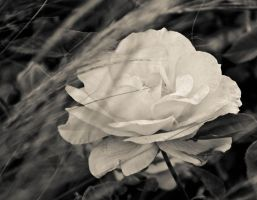 White Rose by Nathan-Ruby