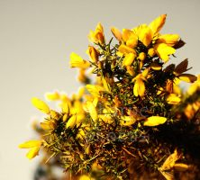 Gorse's Welcome by SharpePhocus