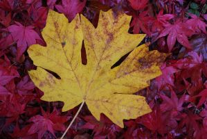 Maple leaves by finhead4ever
