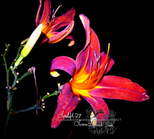 lily in the dark by loreleft27