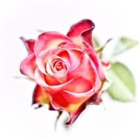 Rose by Rayon2lune