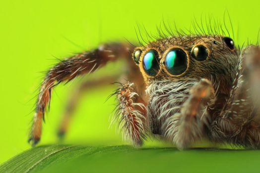 Jumping Spider by dalimas