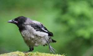 Crow chick by KariLiimatainen