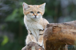 Sand cat. by Ravenith