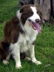 Border Collie 52 by Museik
