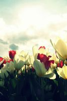 Tulip Fest by JohnnyNiffer