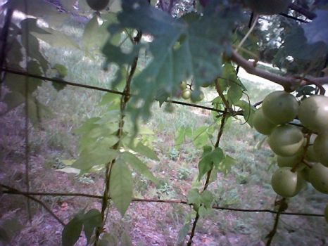 Grapes 3 by Aughadan