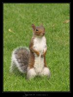 Squirrel III by Crooty