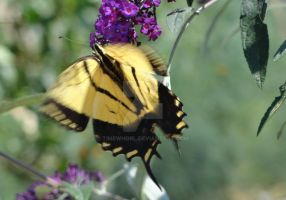 Swallowtail Butterfly 3 by timewhorl