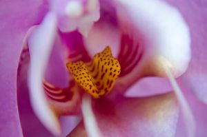 Orchid Lip by roarbinson