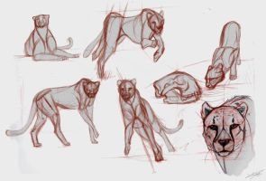 Cheetah Studies by Autlaw