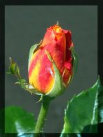 rose I by Lk-Photography