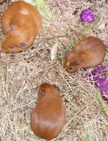 Three Brown Guinne Pigs by Gracies-Stock