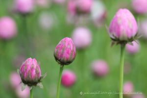 pink paper daisies closed by jakwak