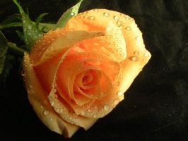 Midday Rose by Tyrison