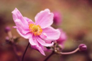 Japanese Anemone by FreyaPhotos